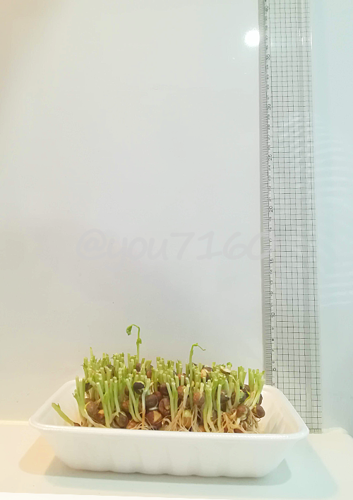 豆苗 栽培